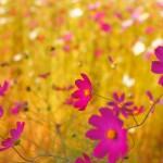 sony ericsson xperia arc flower wallpaper